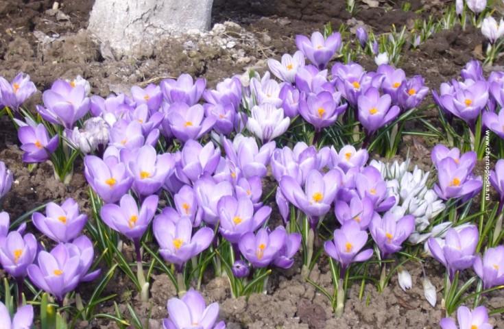Цветы садовые однолетние, фото и названия