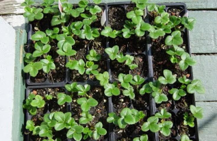Выращивание клубника в домашних условиях фото