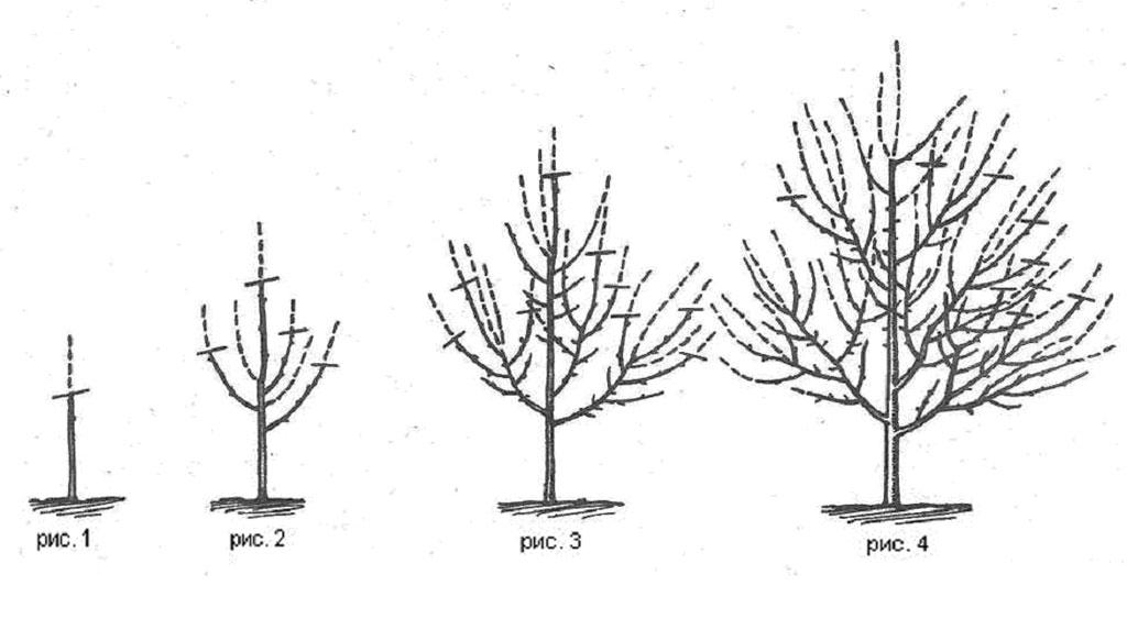 Обрезка груш весной схема