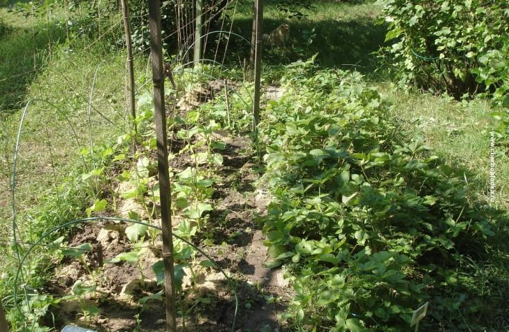 Выращивание огурцов в грунте в подмосковье 72