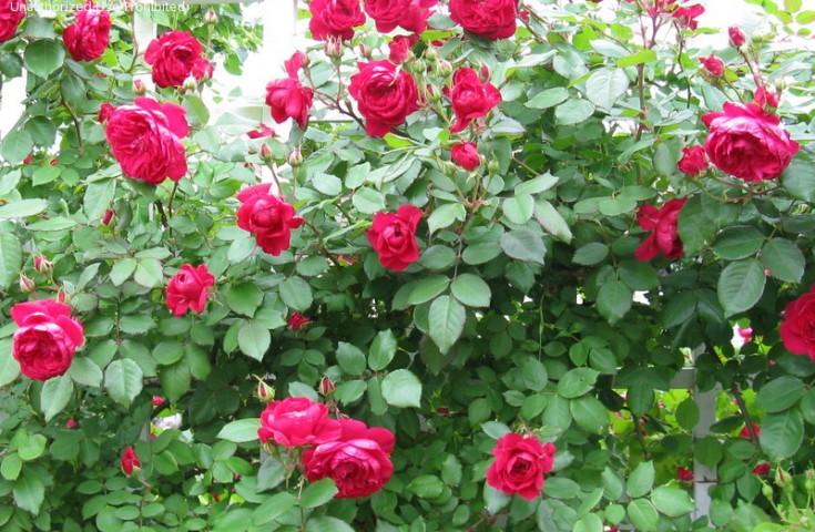 Купить кустовые розы на посадку в туле цветы искусственные композиции цветов купить