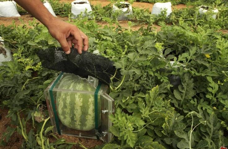 Выращивание рассад в открытом грунте 11