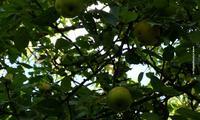 Урожайные и вкусные сорта яблонь для Подмосковья