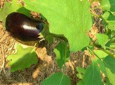 Выращивание баклажан из семян: сорта, фото, уход