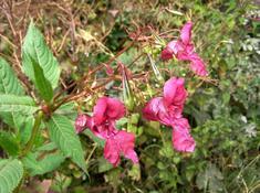 Выращивание бальзамина из семян: Садовый, Уоллера и Камелия